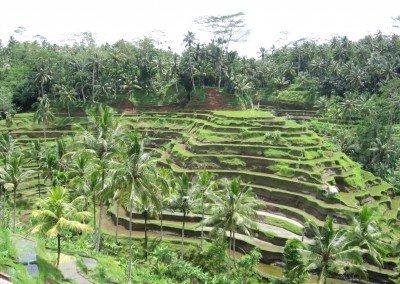 Bali Ricefield #2